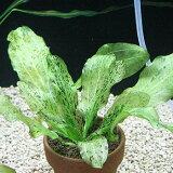 アクアリウム水槽用水草エキノドルスオゼロットグリーン