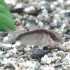 熱帯魚・観賞魚アスピドラス/コリドラスアルクアトゥスワイルド2匹セット