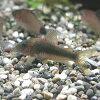 熱帯魚・観賞魚アスピドラス/コリドラスメラノタエニアゴールドグリーンワイルド1匹