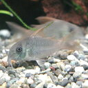 熱帯魚 観賞魚 コリドラス コンコロール ワイルド 1匹