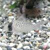 熱帯魚・観賞魚アスピドラス/コリドラスシクリワイルド1匹