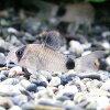 熱帯魚・観賞魚コリドラスパンダSMサイズ3匹セット