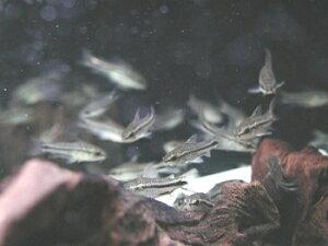 熱帯魚 水草 水槽 アクアリウム用品 5,000円以上お買い上げで送料無料!ピグミーの愛称で知られ...
