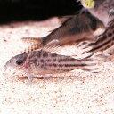 熱帯魚 観賞魚 コリドラス ロビネアエ