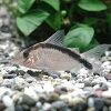 熱帯魚・観賞魚コリドラスロングノーズアルクアトゥス