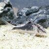 熱帯魚・観賞魚アスピドラス/コリドラスセミアキルスクレッセントワイルド