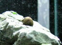 熱帯魚・貝 イガカノコ貝(サザエ石巻貝) [10匹+2匹]