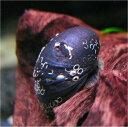 カバクチカノコ貝 5匹セット 【北海道・九州・沖縄・離島は発送不可】 その1