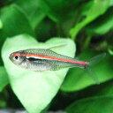 熱帯魚 観賞魚 ハイフェソブリコン アマパエンシス