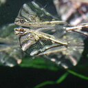 熱帯魚 観賞魚 マーブルハチェット 3匹セット