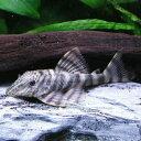熱帯魚 観賞魚 ニュータイガープレコ