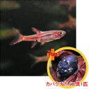 【お買い得セット】 ボララス ブリジッタエ5匹とカバクチカノコ貝1匹のセット