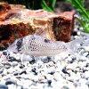 熱帯魚・観賞魚アスピドラス/コリドラスニュークリスチーナワイルド