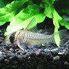 熱帯魚・観賞魚アスピドラス/コリドラスグリセウスワイルド