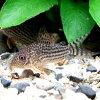 熱帯魚・観賞魚アスピドラス/コリドラスステルバイ2匹セット