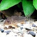 熱帯魚 水草 水槽 アクアリウム用品 5,000円以上お買い上げで送料無料!人気の高いポピュラー種...