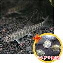【お買い得セット】 ポルカドットローチ2匹とフネアマ貝3匹のセット