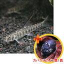 【お買い得セット】 ポルカドットローチ2匹とカバクチカノコ貝1匹のセット