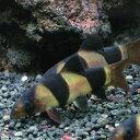 熱帯魚 観賞魚 クラウンローチ 1匹 【北海道・九州・沖縄・離島は発送不可】