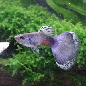 熱帯魚 (グッピー) 国産グッピー モスコーブルー グッピー 見る角度によって色が変わる魅力的...