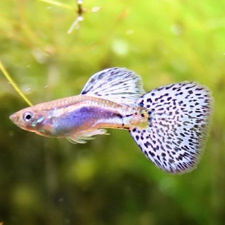 熱帯魚観賞魚国産グッピーブルーグラスグッピー1Pr 国産・グッピー  北海道・九州・沖縄・離島は不可