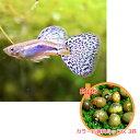 【お買い得セット】 国産グッピー ブルーグラス グッピー 1Pr + カラー石巻貝ミックス 3匹のセ ...