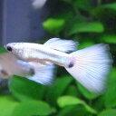 国産グッピープラチナ遺伝子を持った全身が白く輝く美しさを持ったグッピー 熱帯魚はグッピーに...