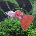 熱帯魚 観賞魚 国産グッピー プラチナレッドテール 1Pr