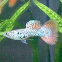 国産グッピー赤く繊細なレース模様の尾びれが美しい国産グッピーです!! 熱帯魚はグッピーに始り...