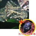 【お買い得セット】 マーブルハチェット2匹とカバクチカノコ貝1匹のセット