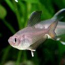 熱帯魚 観賞魚 ロージーテトラ♂ 3匹セット