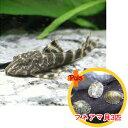 【お買い得セット】 タイガープレコ1匹とフネアマ貝3匹のセット