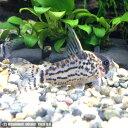 熱帯魚 観賞魚 コリドラス シュワルツィ ワイルド 1匹