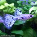 熱帯魚 観賞魚 国産グッピー ラズリーブルーグラス グッピー 1Pr
