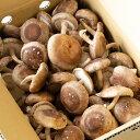 朝採り生しいたけ【お徳用 1kg】| 生シイタケ 生しいたけ 生椎茸 国産 菌床しいたけ 送料無料 通販限定 2