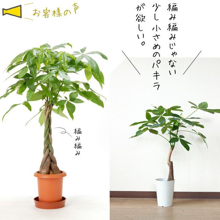 「幸運の木」パキラでも育ててみようかな。※送料無料&同梱不可商品です