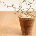 ソフォラリトルベイビーinモスポット(今月の植物)の写真