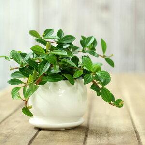 観葉植物 スタイリッシュ ツル性 インテリア グリーン 多肉植物●またまた完売!次回お届けは7/...