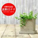 送料無料!観葉植物「ペペロミア イザベル」育てやすい観葉植物です【送料無料】さらに今なら...