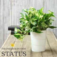 ポトスの王様 ステータス名人片岡さんが育てた6号鉢