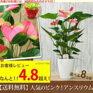 【送料無料 母の日ギフト】名人・小松さんが育てたアンスリューム 観葉植物ピンク花BESTセレク…