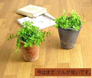 ペペロミア・イザベルをアンティーク風テラコッタで(受皿は別売です。)【イザベラ 観葉植物 モスポット 多肉植物】
