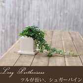 観葉植物の中でも「つる性」植物は、インテリアによく合いますよ!パルテノシッサス シュガーバインお洒落! ツルが長いロングtype