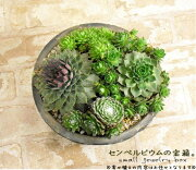 多肉植物 センペルビウム アンティーク テラコッタ