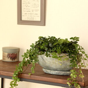 人気の「舟形style」!ローボードにグリーンオアシスを☆良質なシュガーバインを、石っぽい質感の陶器鉢で。【観葉植物 パルテノシッサス・シュガーパイン ツルが長い】