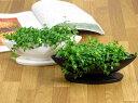 インテリアがより可愛く、より素敵に【ミニ観葉植物 ペペロミア イザベラ(イザベル)】ペペロ...