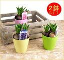 お部屋に香りの宅急便♪ヒアシンス2鉢/セット※ヒヤシンスの花色と、鉢の色はお任せとなります。