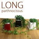 【ミニ 観葉植物 インテリア】●今ならレビュー記入で芋虫ピック、プレゼント!●【ツルが長い...