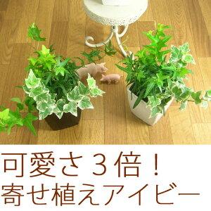 観葉植物 寄せ植え スタイリッシュ アイビー ミニ インテリア 売れ筋またまた完売御礼!次回お...