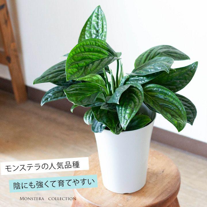 【お届けは9/4〜】めずらしいモンステラ・ジェイドシャトルコック観葉植物インテリア(今月の植物)